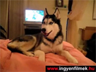 Husky kutyus: I love you